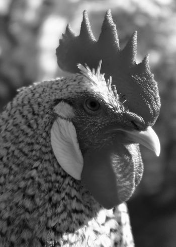 Side View portrait of a Hen Agriculture Barred Plymouth Rock Chicken Farm Animal Animal Crest Animal Themes Bird Chicken - Bird Close-up Cockerel Countryside Detail Focus On Foreground Hen Livestock Macro Monochrome Nature No People One Animal Outdoors Peacock Portrait Rooster Side View