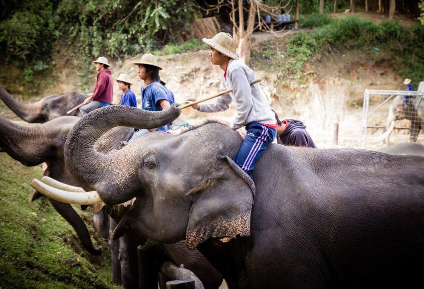 Maesa Elephant Camp Campus Chiang Mai | Thailand Show Thailand Thailand Photos Travel Photography Zoo Activity Animal Camp Chang Donation Elephant Elephant Camp Elephant Show Elephant Thailand Elephants Maesa People Showing Thailandtravel Watching Zoology