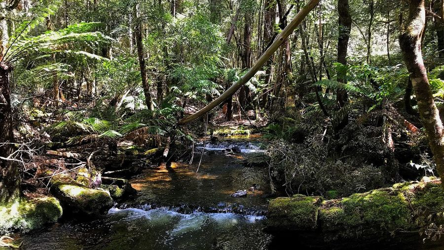 Forest Tree Nature Water Outdoors Moss Beauty In Nature No People Tranquility Waterfall Tranquil Scene Landscape Tree Trunk Day Scenics Tasmania Australian Landscape Derwent Valley