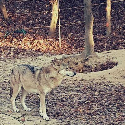 Korean wolf