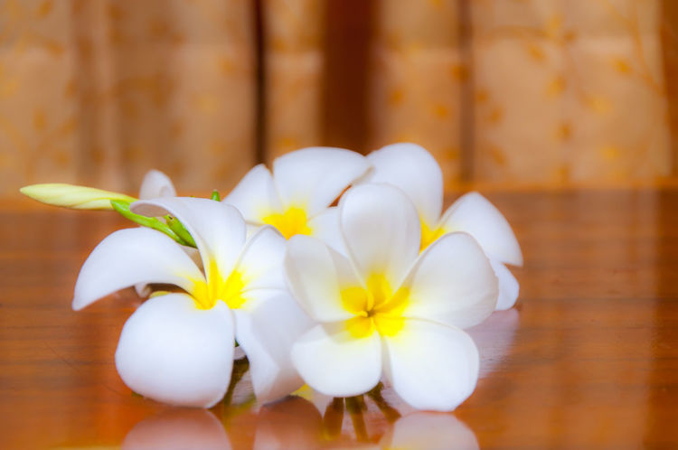 Beauty of White Plumeria Pudica flora Beauty In Nature Close-up Day Floral Flower Flower Head Fragility Frangipani Freshness Indoors  Nature No People Petal Plumeria Plumeria Blossoms Plumeria Flowers White White Color White Flower White Flowers