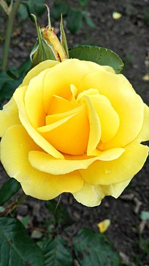 Yellow Rose Flowers Beauty In Nature Vibrant Colour Yellow Yellow Flower Simple Beauty Flower Collection Flowers,Plants & Garden Colour Of Life Huaweip8 Lite