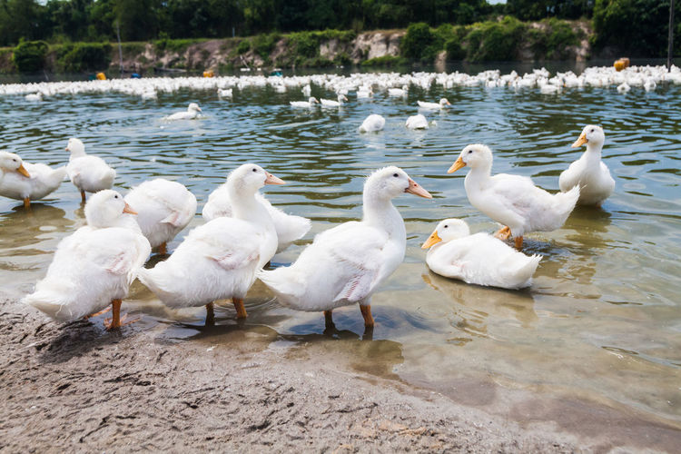 Real white duck in a farm with pond No People Day Nature Duck Ducks Duckling Ducks At The Lake Real People Farm Bird Water Group Of Animals Animal Wildlife Animal Themes Animal Vertebrate Animals In The Wild Large Group Of Animals Lake White Color Swan Beach Flock Of Birds Lakeshore Outdoors Seagull