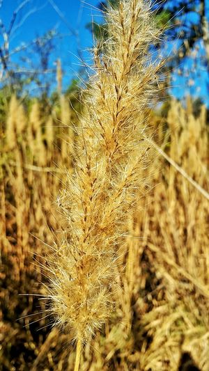 Plant Nature Outdoors Freshness Growth Close-up Beauty In Nature Wild Flower Nature_collection Softness Fluffy Macro Macro Photography Flowers Dried Flowers Wild Grasses Tall Grasses Over Growth Outdoor Photography Flower Sky Dried Dried Grass Autumn Autumn Colors