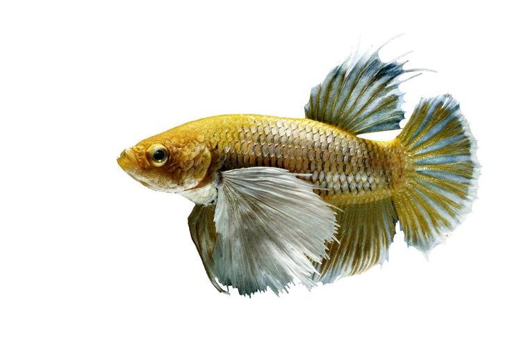 Betta Fish,