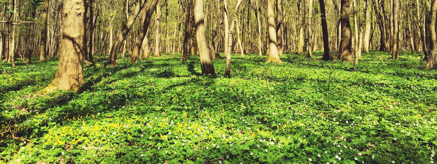 Spring Into Spring Spring Spring Flowers Forest Trees Green Flowers Nature EyeEm Nature Lover
