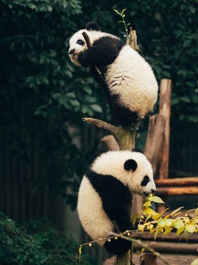 Animal Themes Animals In The Wild Baby Bear China Close-up Day Giant Panda Mammal Nature No People One Animal Outdoors Panda Panda - Animal