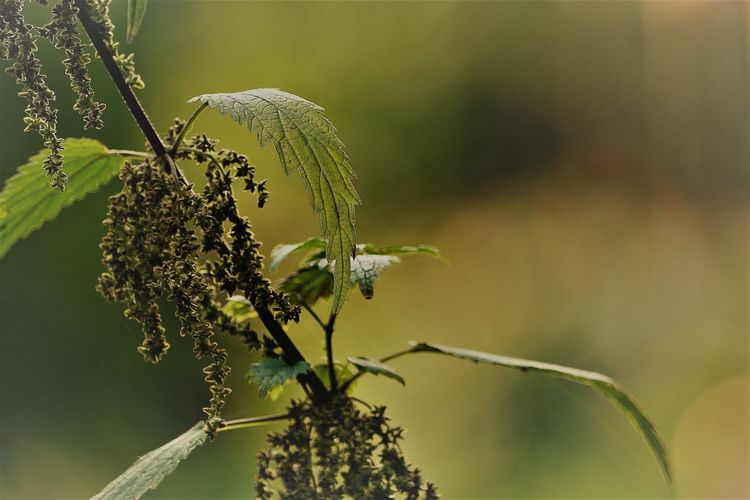 EyeEm Selects Stinging Nettles Brennnessel Nature EyeEm Nature Lover StillLifePhotography Beauty In Nature Moment Close-up Green Color Growth Day Fragility Plant Outdoors No People