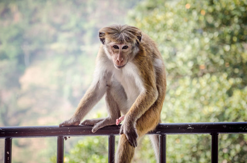 Sitting View Animal Wildlife Animals In The Wild Day Focus On Foreground Full Length Genital Looking Mammal Monkey Mouth Open One Animal Outdoors People Portrait Primate Railing Sitting Tree Vertebrate