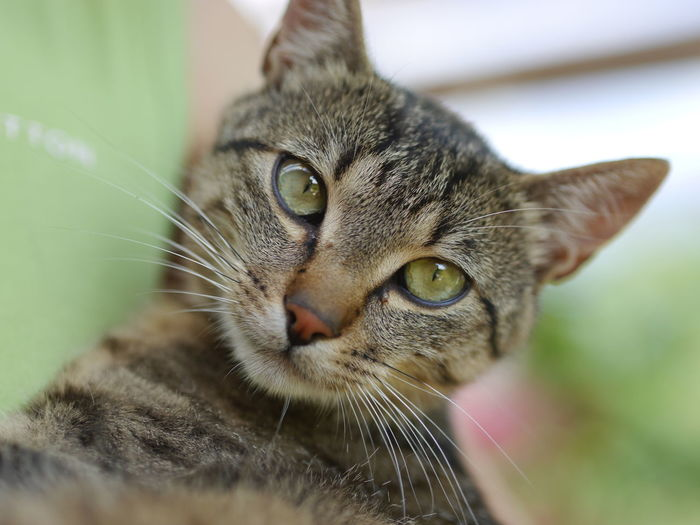 Animal Themes Cat Close-up Domestic Animals Domestic Cat Feline Focus On Foreground Looking At Camera Mammal Nature No People One Animal Pets Portrait Whisker