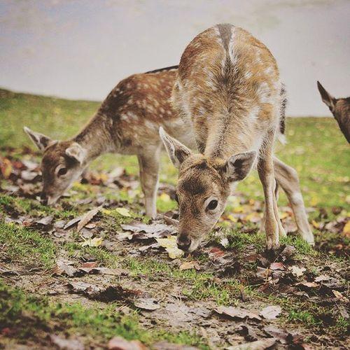 Bambi Reh Wildpark Wildparkschwarzeberge Justgoshoot Igeurope Hamburg Norddeutschland Picofday Justgoshoot Exploremore Letsgoshoot Nature Naturelovers Naturephotography Mothernature Rehkitz Animal Animallover Instapic Instagood Instatravel