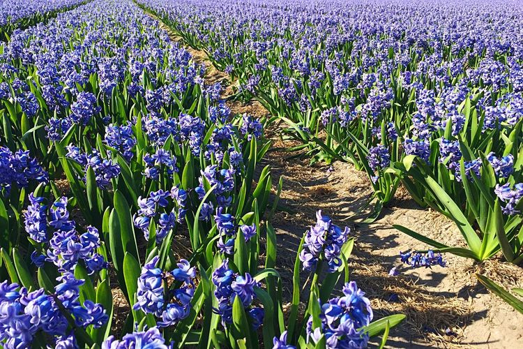 Growth Nature Field Purple Plant Beauty In Nature Freshness Outdoors Flower Agriculture Hyacinth Flower Hyacinth Field Of Flowers Spring Springtime Spring Flowers Blooming Blooms Blooming Flowers Flower Head The Netherlands Holland