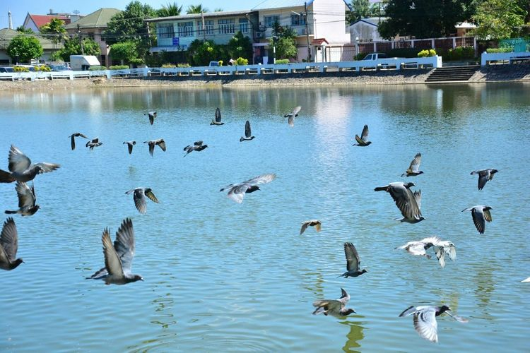 Bird Animals In The Wild Water Flock Of Birds Beauty In Nature Day Lake Animal Themes Large Group Of Animals No People