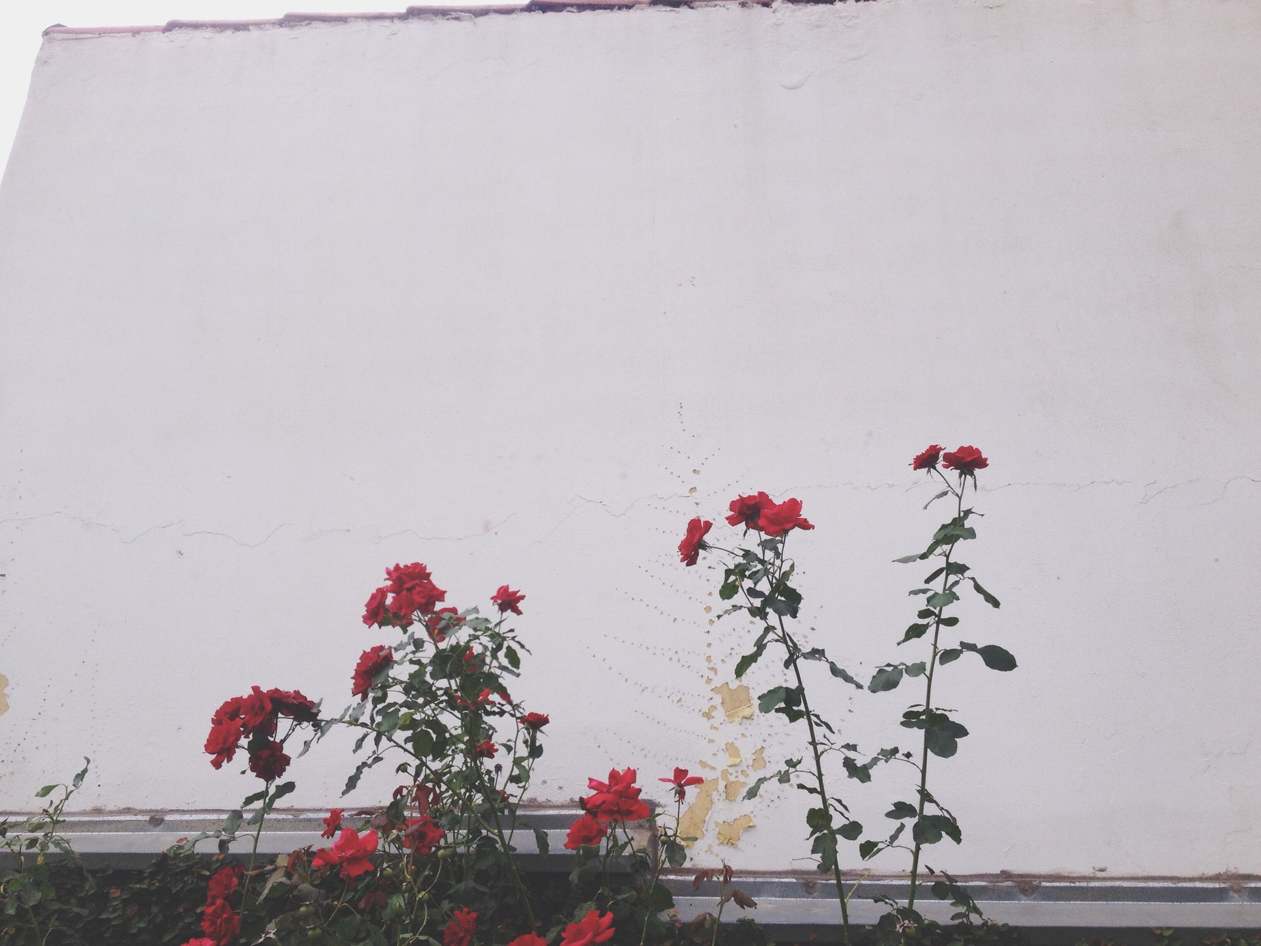 flower, red, wall - building feature, growth, plant, freshness, built structure, nature, fragility, architecture, building exterior, day, clear sky, no people, stem, beauty in nature, pink color, outdoors, wall, branch