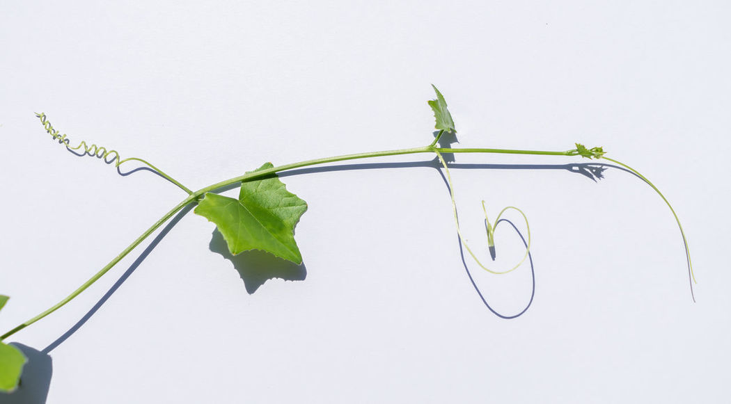 Lvy Gourd Coccinia Grandis Coccinia Leaf Plant Part White Background Plant Studio Shot Copy Space Nature Green Color Growth Indoors  No People Close-up Freshness Plant Stem Vulnerability  Fragility Beauty In Nature Cut Out Flower Food And Drink