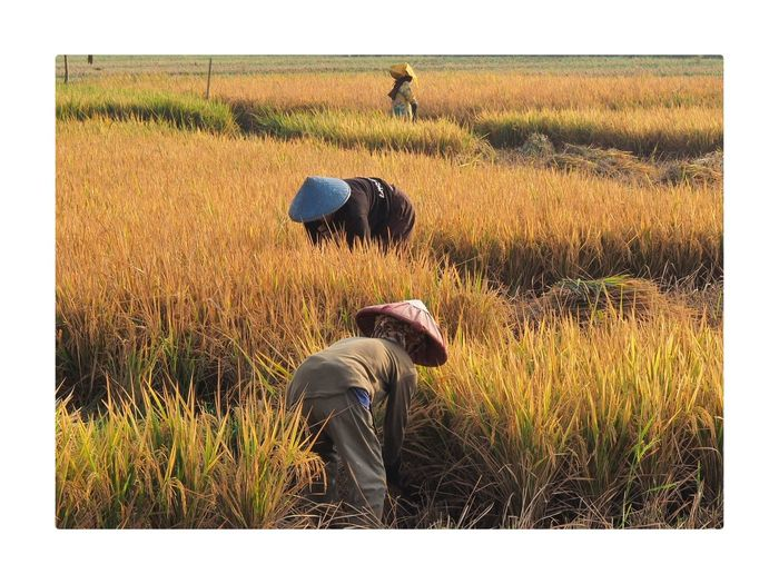 Harvest Time Working Farm Worker Men Farmer Manual Worker Occupation Rural Scene Rice Paddy