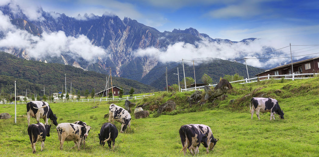 Cows on a green field with beautiful scenery at Kundasang and view of Mount Kinabalu, Sabah, Malaysia. Kundasang Mount Kinabalu Animal Themes Beauty In Nature Cattle Cloud - Sky Cow Domestic Animals Farm Animal Field Grass Grazing Landscape Large Group Of Animals Livestock Malaysia Mammal Milk Mountain Mountain Range Nature Outdoors Sabah Scenics Togetherness