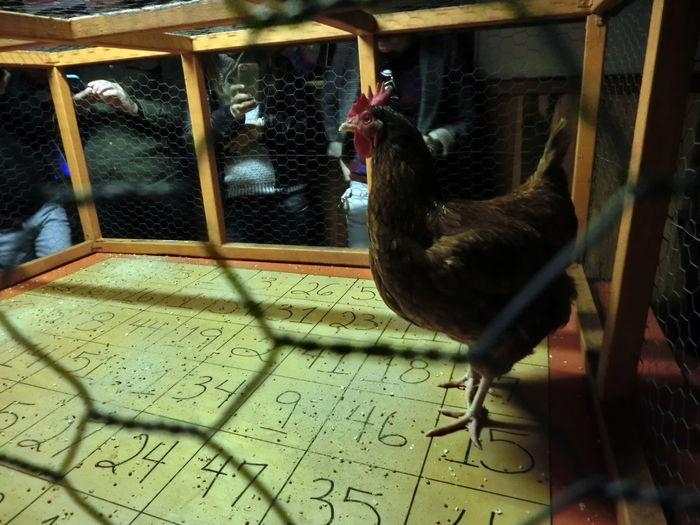 Animal Themes Bird Cage Chicken - Bird Close-up Day Domestic Animals Indoors  Nature No People One Animal Perching