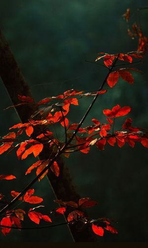 Leaves Red Leaves EyeEmNewHere EyeEm Nature Lover EyeEm Gallery EyeEm Best Shots - Nature Light And Shadow Kerala India EyeEm Selects Eyem Collection Autumn Leaf Red Change No People Nature Beauty In Nature Tree Outdoors Branch Plant