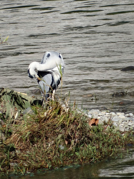 Ardea Cinerea - Serchio River Animal Themes Animal Wildlife Animals In The Wild Bird Grey Heron  Grey Heron In Winter Grey Heron On The River Shore Heron Heron Along The River Heron In Winter Nature Outdoors Perching Water