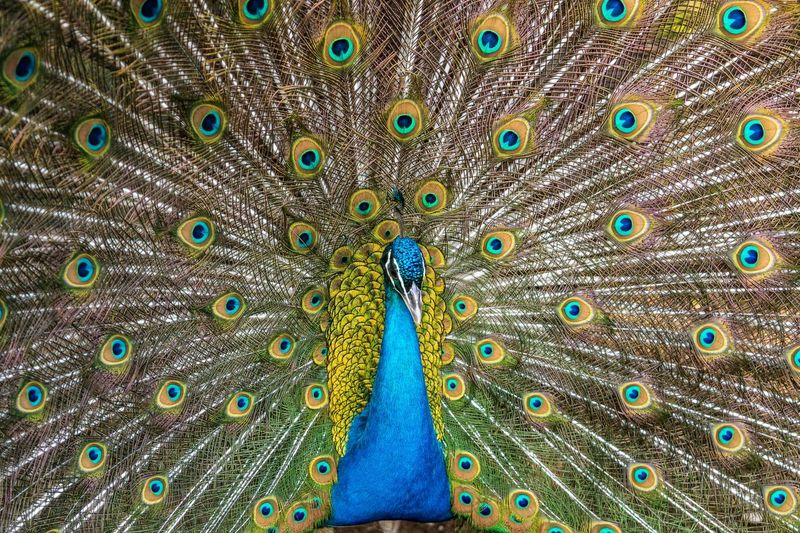 Full frame shot of peacock with fanned out feathers