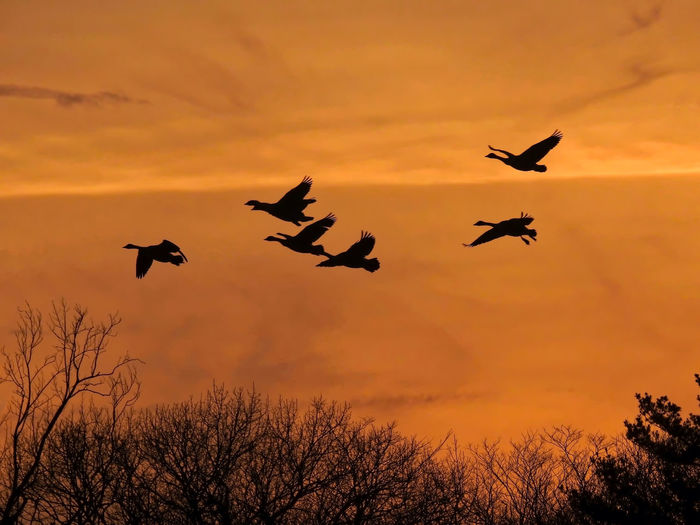 Low angle view of silhouette of birds flying against sky during sunset