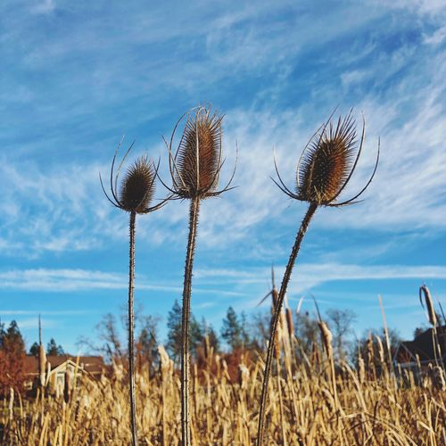 Teasel Sky Plant Cloud - Sky Nature Growth No People Day