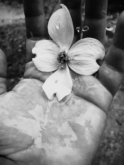 Dogwoodflower Dogwood Blossom Monochrome Treeoflife Tranquility Rain Drops Heaven And Earth Blossom Flower Black And White CIRCLE Of LIFE Photography In Motion Raindrops Falling