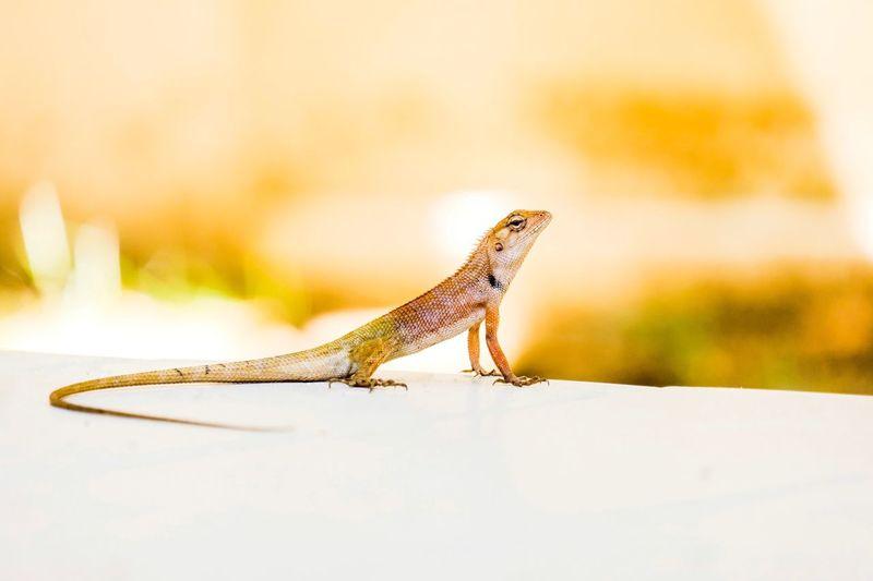 Chameleon with