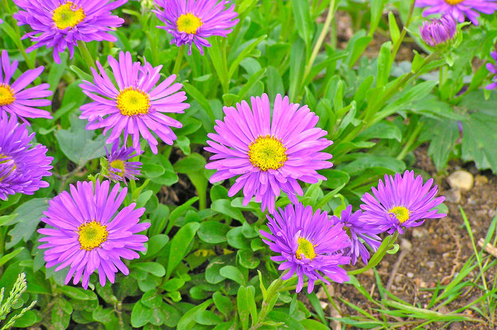 Alpine Aster Aster Aster Alpinus Beauty In Nature Blooming Close-up Day Flower Flower Head Flowers Fragility Freshness Green Color Growth Leaf Nature No People Osteospermum Outdoors Petal Plant Pollen Purple Purple Flower