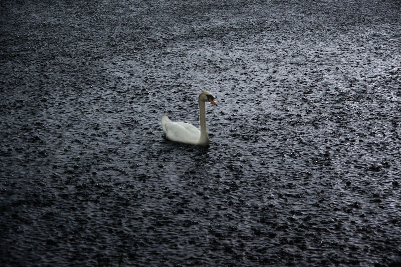 Animal Themes Animal Wildlife Animals In The Wild Bird Day Lake Nature No People One Animal Outdoors Rain Raining Swan Swimming Water Bird Waterfront Place Of Heart Live For The Story The Great Outdoors - 2017 EyeEm Awards