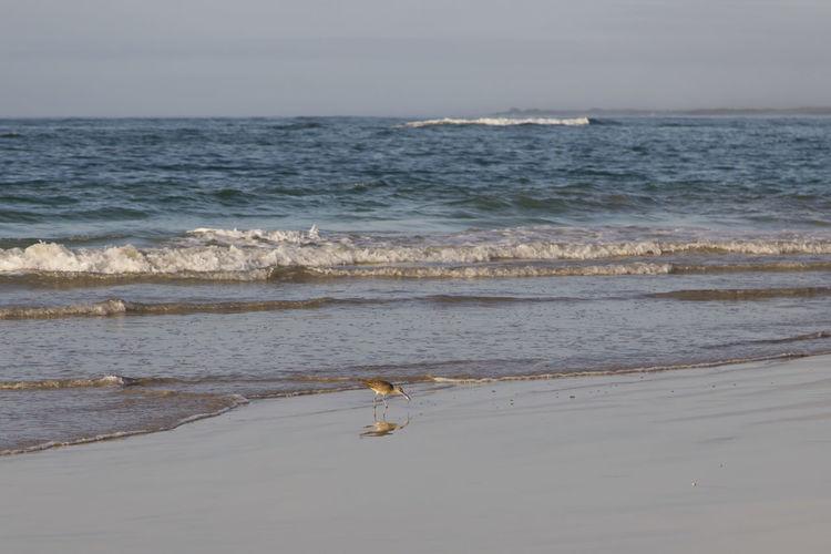 Whimbrel wading