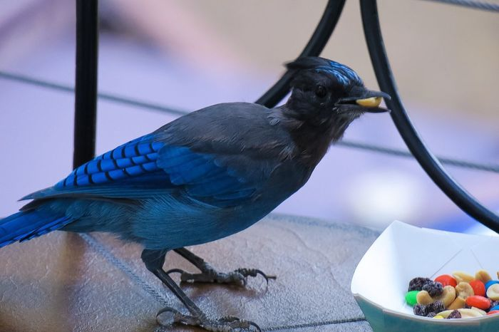 One Animal Bird Animal Themes Animals In The Wild Food Feeding  Animal Wildlife Perching Close-up No People Day Outdoors Nature Steller's Jay Trail Mix Peanuts Peanut Raisins Tadaa Community Animals EyeEmNewHere Live For The Story