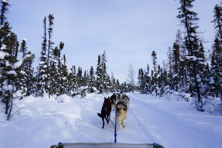 Dog Sledding Path Winter Adventure Animal Themes Beauty In Nature Cold Temperature Day Dog Domestic Animals Field Mammal Nature No People Outdoors Pets Scenics Sky Sled Dog Snow Snow Covered Transportation Tree Winter Working Animal