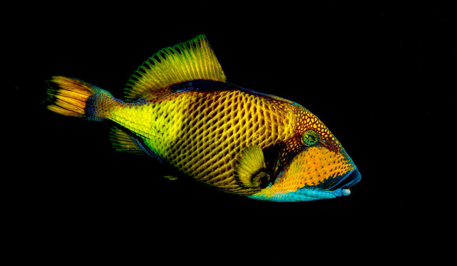color edited Triggerfish Diving Phuket,Thailand Sealife Triggerfish Animal Themes Animal Wildlife Animals In The Wild Beauty In Nature Black Background Close-up Color Edit Colorful Edit Fish Multi Colored Nature Night No People One Animal Outdoors Photography Sea Life UnderSea Underwater Underwater Photography