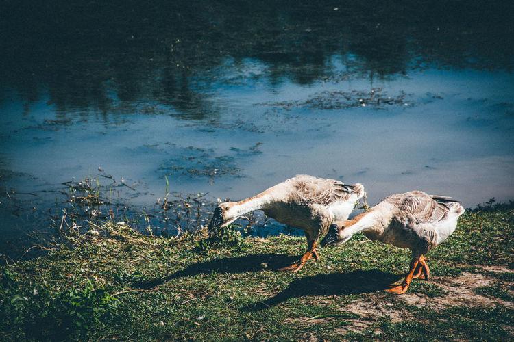 goose Animal Animal Themes Vertebrate Water Group Of Animals Nature Lake Livestock Mammal Domestic Animals Domestic No People Plant Grass Pets Land Animal Wildlife Bird Day Outdoors Herbivorous