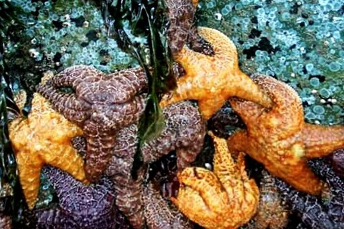 Starfish thriving in Oregon's tide pools showing off an array of vibrant colours