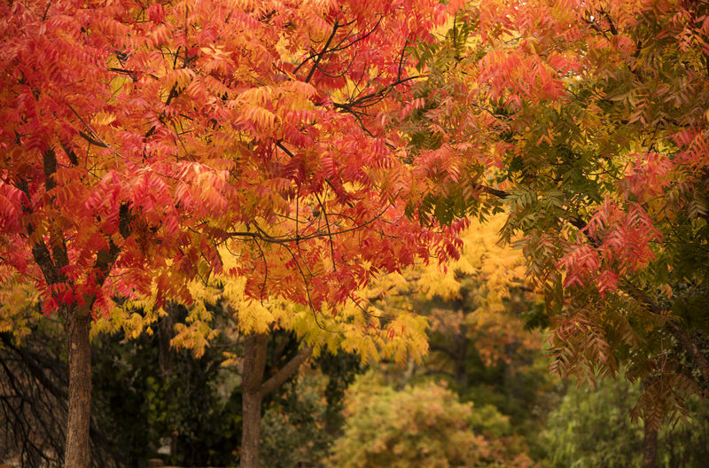 View of maple tree during autumn
