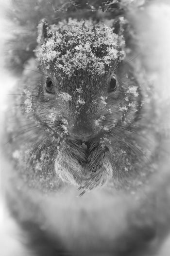 Animals In The Wild EyeEmNewHere Wildlife Photography Winter Animal Animal Eye Animal Wildlife Animals In The Wild Black And White Blackandwhitephotography Bnw Bnw_captures Bnw_collection Bnw_life Close-up Looking At Camera Nature Nature_collection Naturephotography Portrait Selective Focus Squirrel Closeup Squirrel Standing Wild Wildlife