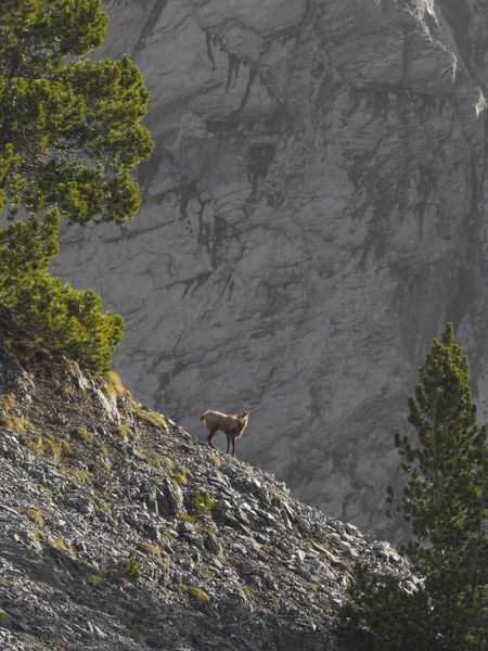 Mountain goat on the edge Animal Themes Beauty In Nature Cliff Day Edge Of The World Goat Greece Growth Mountain Nature No People Non-urban Scene Olympus Mountain One Animal Perching Rock Formation Rocky Mountains Scenics Tranquil Scene Tranquility Tree Tree Trunk Vertical Wall Zoology The Great Outdoors - 2018 EyeEm Awards