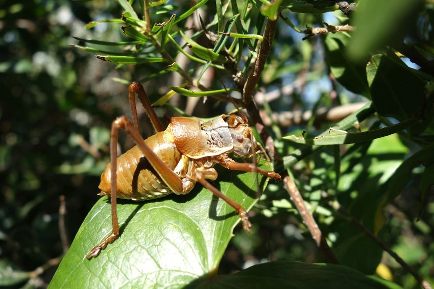 Cricket Crickets Fauna Mediterranean  Coastline Cotedazur Saint Tropez Ephippiger