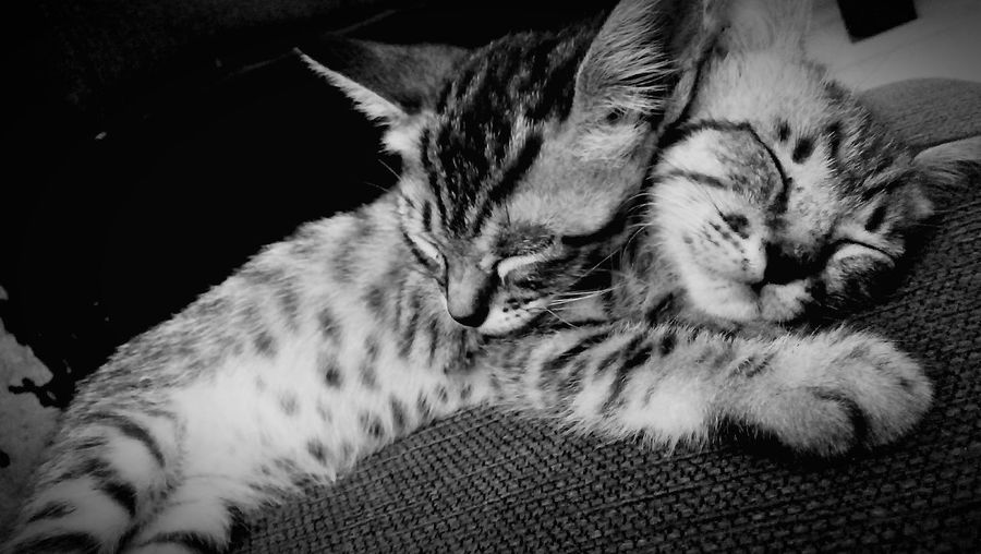 Domestic Cat Pets Animal Themes Feline Domestic Animals Sleeping Mammal One Animal Eyes Closed  No People Lying Down Relaxation Indoors  Day Portrait Close-up Two Of A Kind Moment Tranquil Scene Super Paws' Adorable INDONESIA Wonderful Cats Of EyeEm