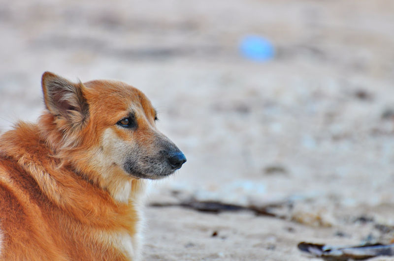 Headshot of brown furry dog waiting for the boss. Animal Themes Beach Brown Close-up Day Dog Domestic Animals Focus On Foreground Hope Look Forward Mammal Nature No People One Animal Outdoors Pets Portrait Sad Sand Tame Waiting