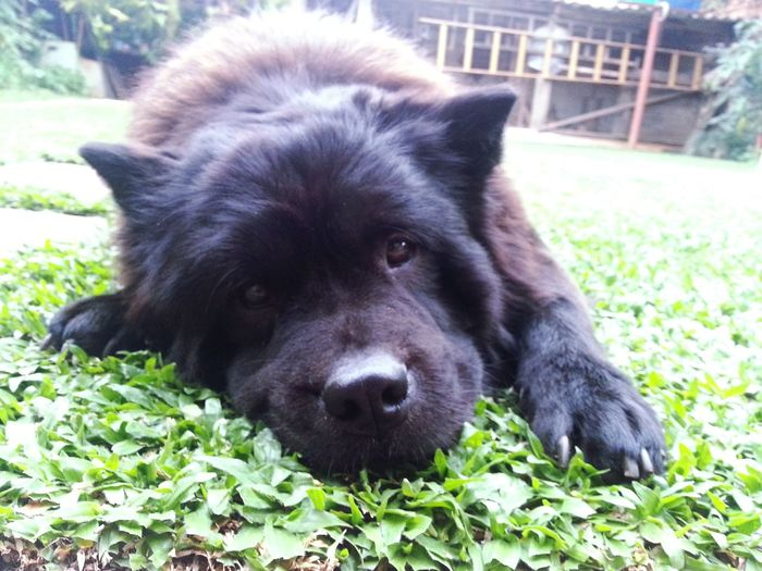 Amor incondicional 💞 ChowChow Pets Love First Eyeem Photo