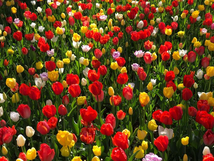 HitachiSeaSidePark Flower Growth Field Beauty In Nature Fragility Nature Freshness Petal Flower Head Flowerbed Plant Tulip Day Poppy Abundance Multi Colored Blooming Outdoors No People Backgrounds