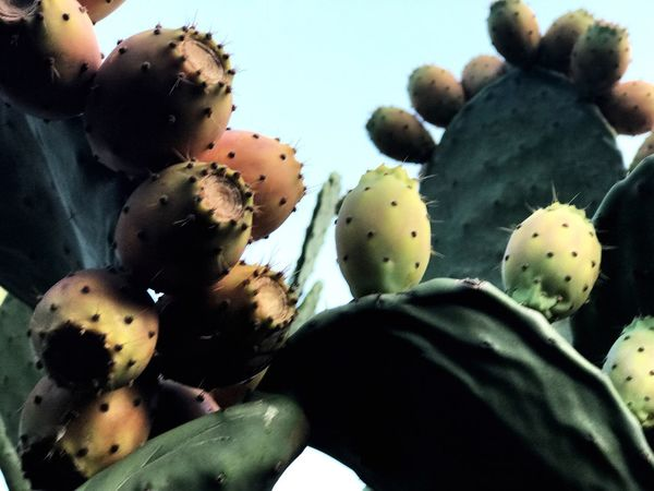 Cactus Prickly Pear Cactus Growth Nature Close-up No People Day Plant Sky Low Angle View Outdoors Beauty In Nature Freshness