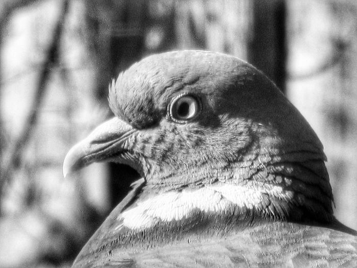 Pigeon (Black and White photography) Animal Wildlife Bird Animal Body Part One Animal Close-up Animals In The Wild Animal Themes Animal Head  Outdoors Portrait No People Day Nature Beauty In Nature Close‐up Photography Macro EyeEm Gallery EyeEm Best Shots Photooftheday Photographer Photography EyeEm Selects Mother Natures World Enhanced Photograph