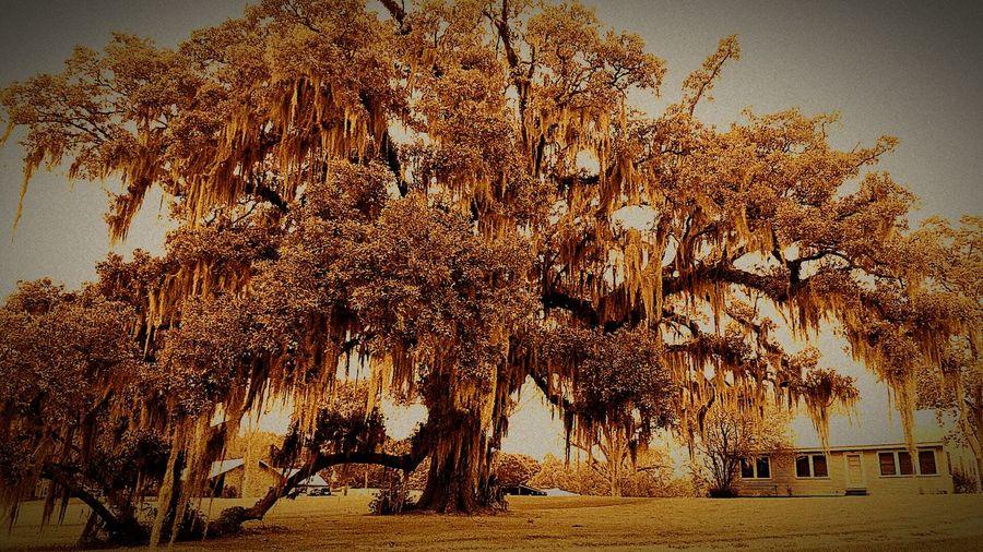 Oak Trees Countrylife Country Life ...... (: Country Life & LoveLouisiana Living Louisiana Landscape #Nature #photography Landscape