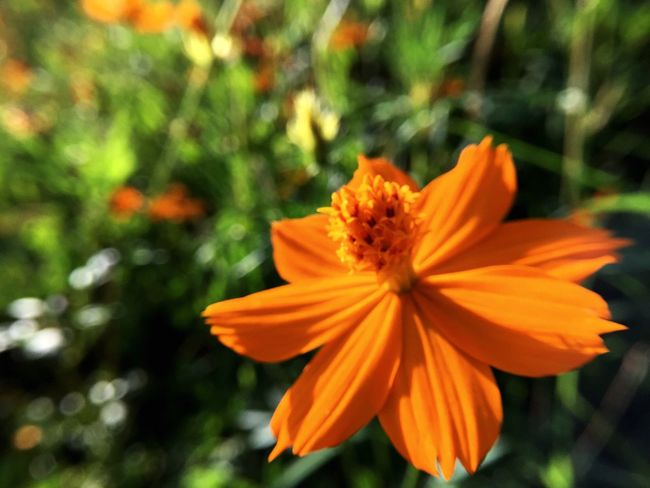 Flower Petal Orange Color Nature Fragility Growth Beauty In Nature Flower Head Freshness Blooming Plant Focus On Foreground Pollen No People Outdoors Close-up Day