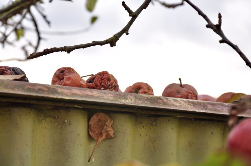 Mummified Apples on Shed roof Mummified Apples Brown Leave Fall Colors Shed Roof Windfall Apples No People Nature Day Branch Sky Fruit Focus On Foreground Outdoors